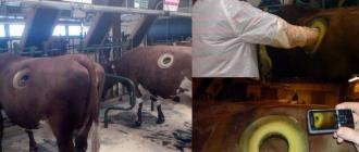 Сквозная труба в желудок коровы и другие инновации в фермерстве