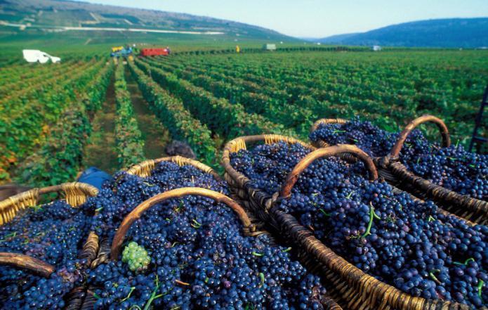 В Италии рабочих на виноградниках заменили роботами